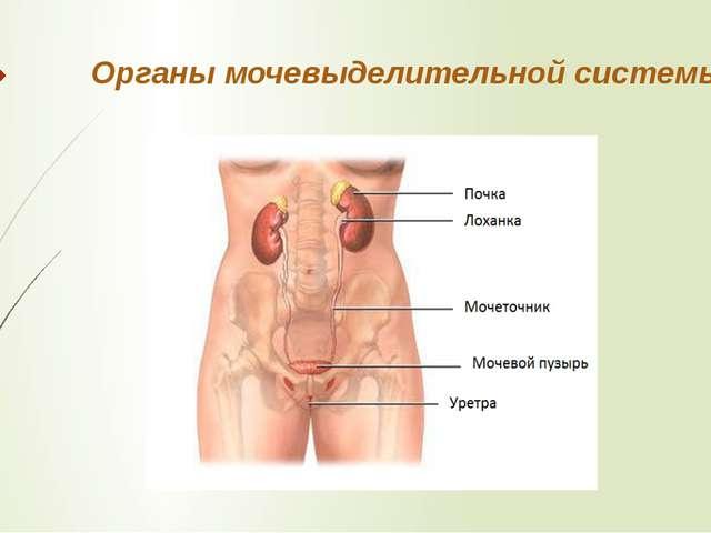 мочеобразующие и мочевыводящие органы