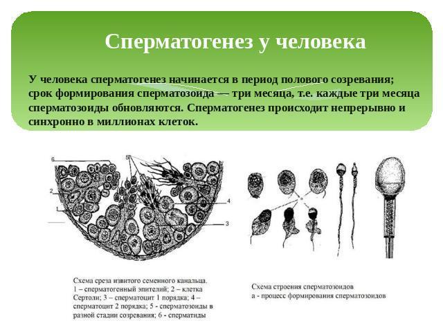 Сравнительная характеристика спермато и овогенеза